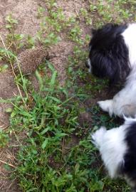 Собачка обнюхивает ёжика