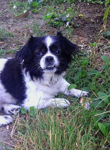 Черно-белая собачка лежит в траве
