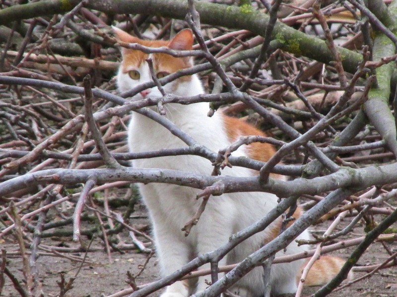 Котик бело — рыжего окраса спрятался за кучей веток.