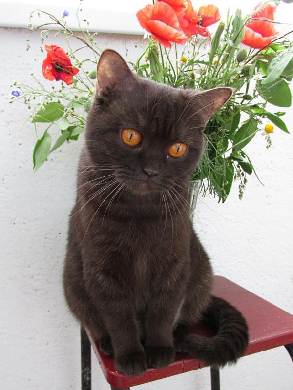 Британский шоколадный кот сидит под вазой с букетом.