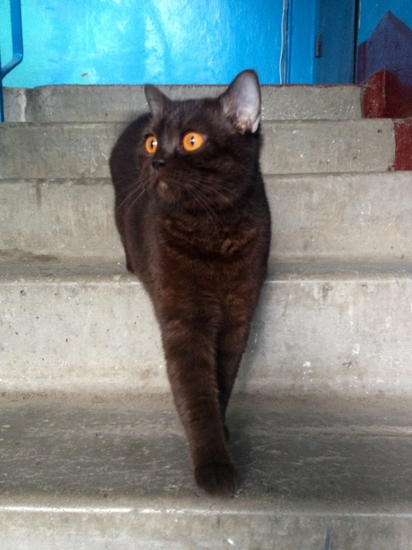 Британская шоколадная кошка спускается по ступенькам подъезда