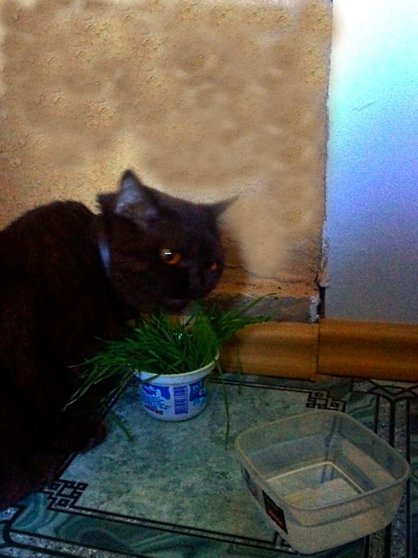 Кошечка ест травку из пластиковой коробочки.