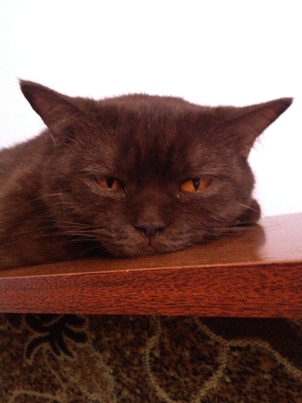 Голова лежащей коричневой кошки крупным планом.