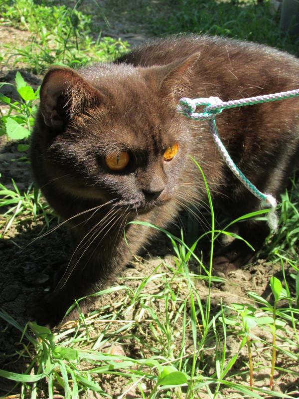 Британская кошка на поводке насторожилась в траве.