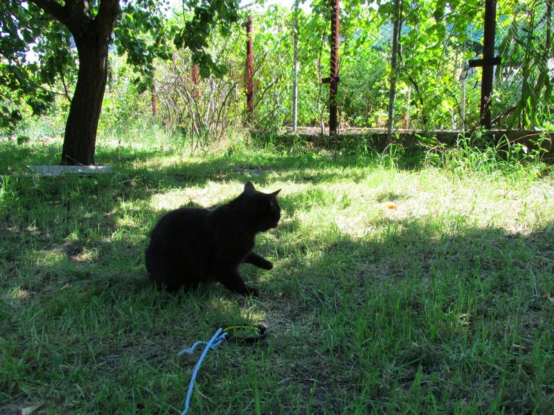 Кошка сорвалась с поводка и сидит в дачном саду.
