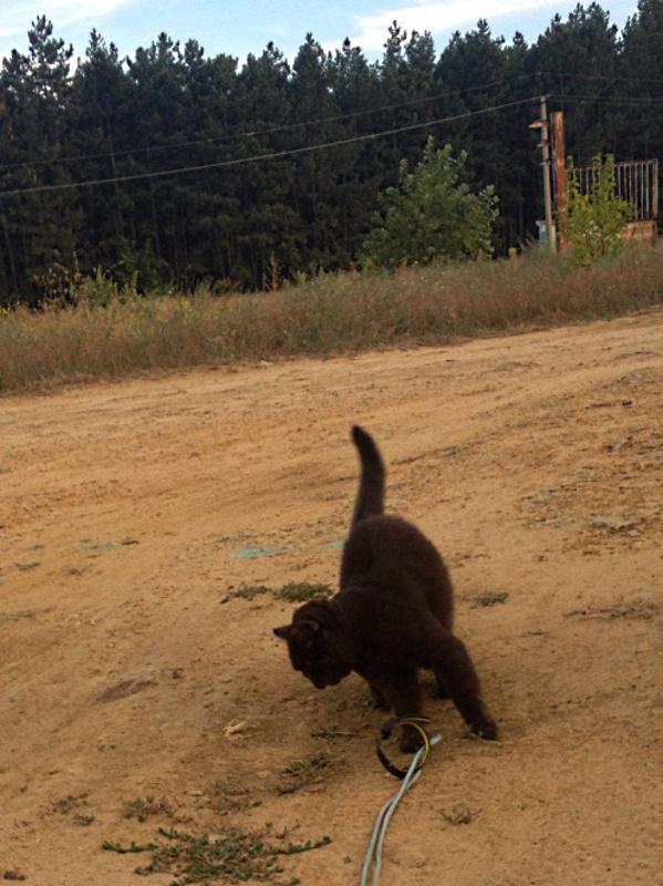 Кошка выпутывается из ошейника на прогулке с поводком.