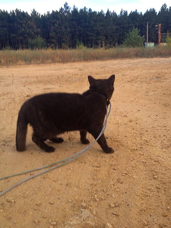 Кошка гуляет на поводке на фоне леса.