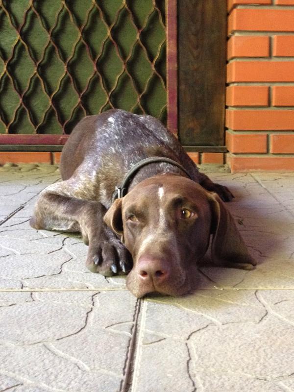Собака охотничьей породы лежит на полу.