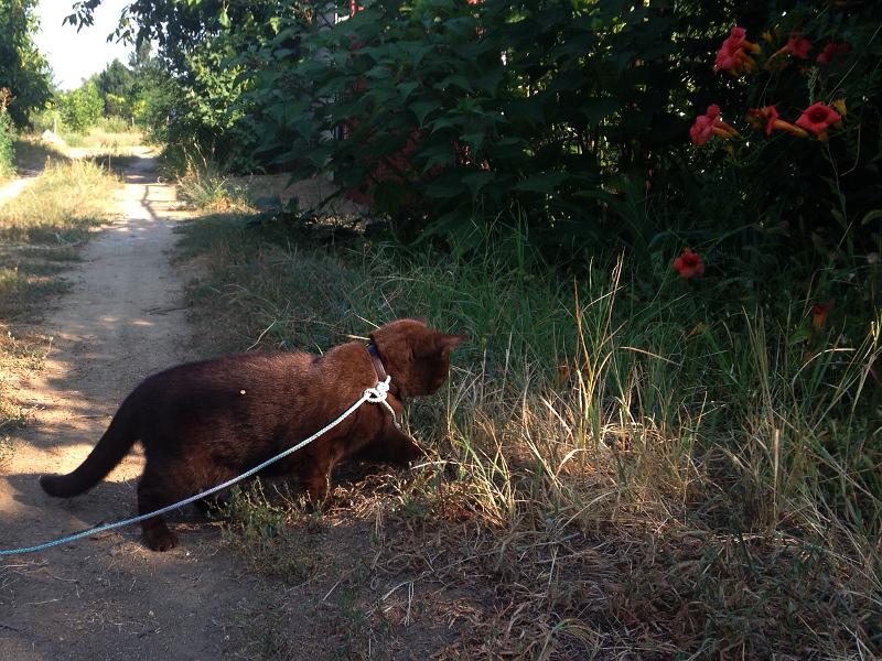 Кошка на поводке гуляет вдоль тропинки.