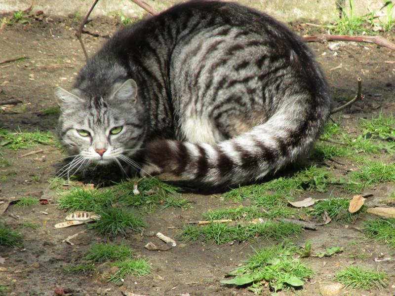 Кот серо-белого окраса сидит свернувшись.