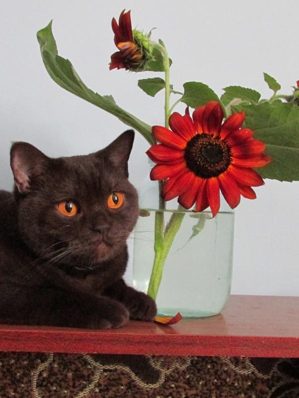 Банка с шоколадным подсолнухом, рядом британская шоколадная кошка.