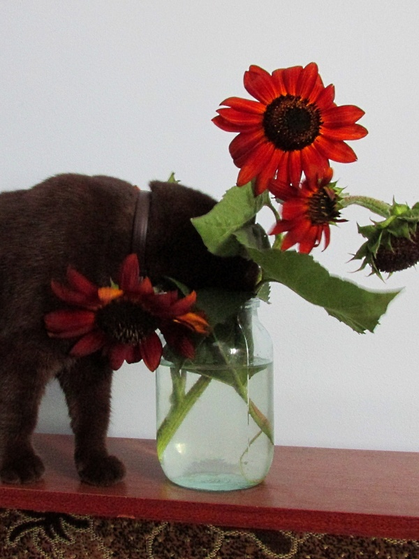 Британская шоколадная кошка заглядывает в банку с шоколадными подсолнухами.