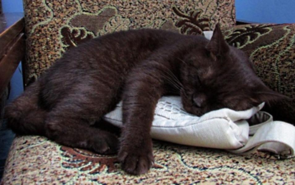 Британская кошка спит на рюкзачке