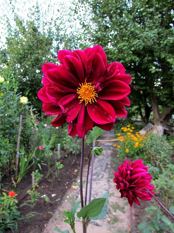 Цветочек красного цвета в палисаднике.