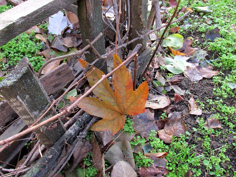 Яркий оранжево-зеленый лист на деревянном заборчике.