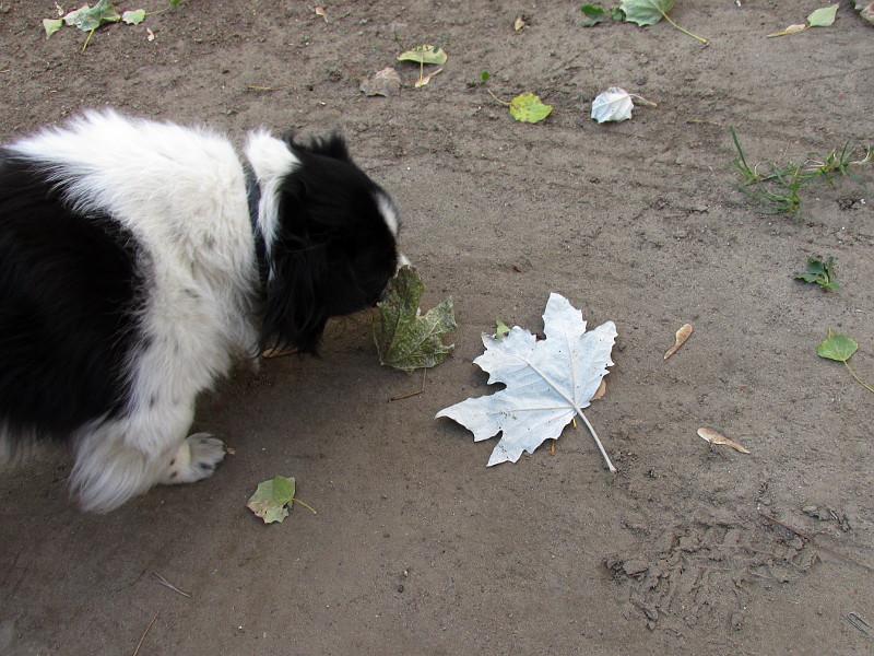 Собачка нюхает осенний белый лист тополя.